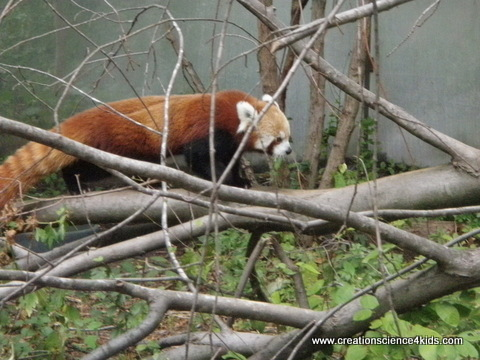 red-panda-walking-001