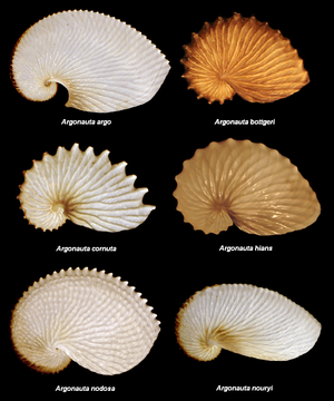 Argonauta species