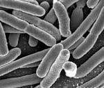 Bacteriarazorback