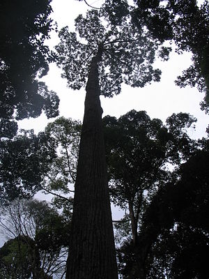 Shorea evergreens are some of the best known sweet resin trees. Chinese amber comes from these trees.