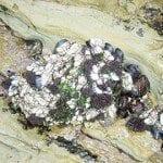 Barnacles, shellfish, green algae at low tide (Photo credit: Martin LaBar)