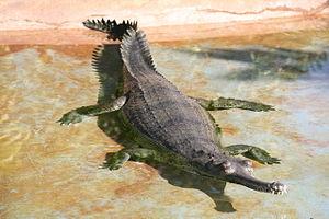 gharial-body