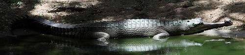 young-gharial-sunbathing