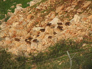 Colony of Rock Hyrax