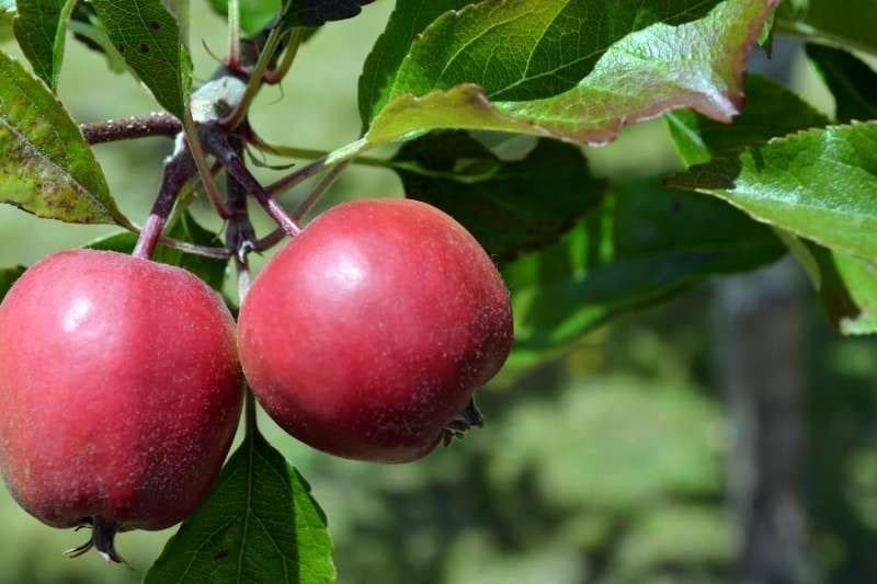 Apples on a tree, photo credit: Rachel Hamburg