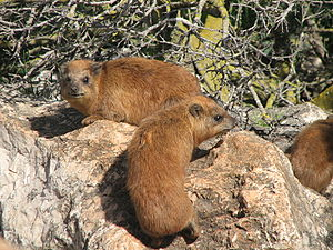Two Hyrax