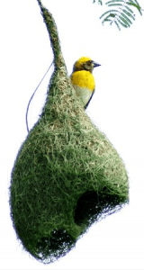Weaverbird and its nest in northern India