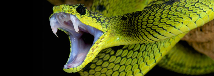 Green tree snake with mouth wide open
