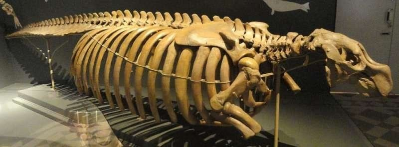 Steller's Sea Cow Skeleton, Finnish Museum of Natural History, Helsinki, Finland