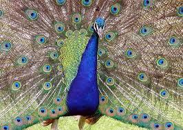 Creation Club Peacock