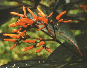 The Hamelia flower, a typical host plant for hummingbird flower mites.