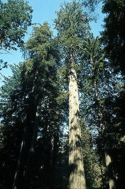 Sequoia Sempervirens in Redwood National Park