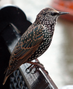 Common Starling, Photo: Wikipedia