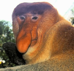 Dominant male Proboscis Monkey at the Singapore Zoo