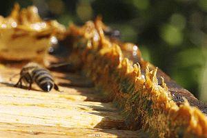 bee with propolis cs4k