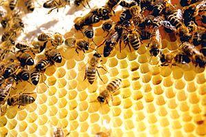 bees on comb cs4k