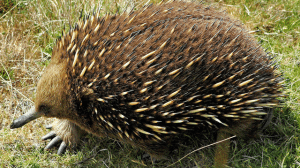 Tasmanian Shortbeaked Echidna