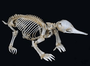 Shortbeaked Echidna Skeleton