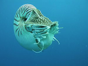 Nautilus from the side. Palau Micronesia.