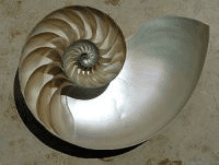 A sectioned Nautilus shell.