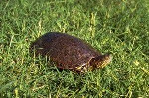 big-bend-slider-turtle