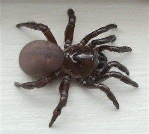 trapdoor spider wikipedia cmi