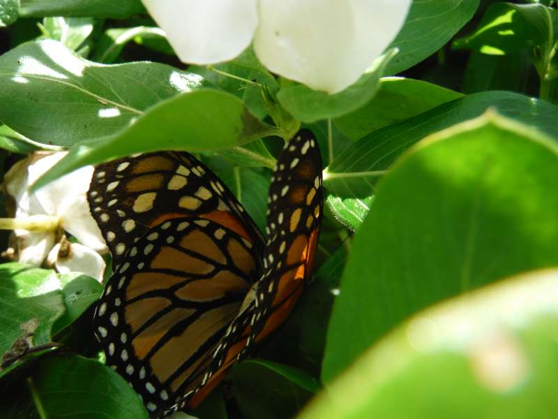 Monarch butterfly. Photo copyright Sara J. Bruegel, 2015