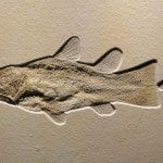 Coelacanth Fossil in sandstone