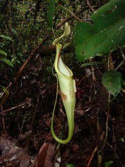 Pitcher plant: Nepenthese rafflesiana