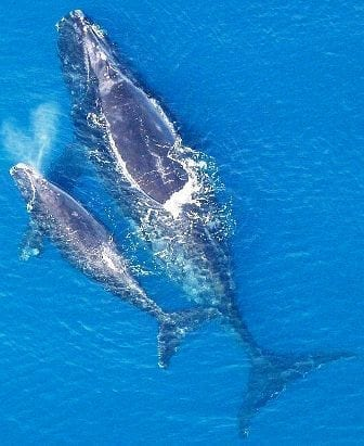 Baleen whale with calf