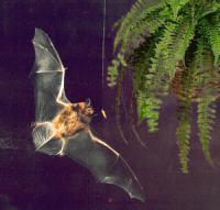 convergent evolution bats cs4k