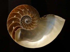Creation Club Public Domain Nautilus_pompilius_Fernbank_Museum_of_Natural_History