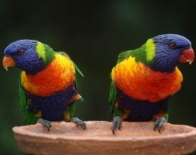 Creation Club Colorful Rainbow Parrots