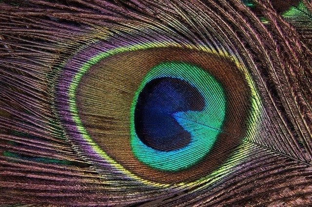 Peacock feather detail showing the 'eye'