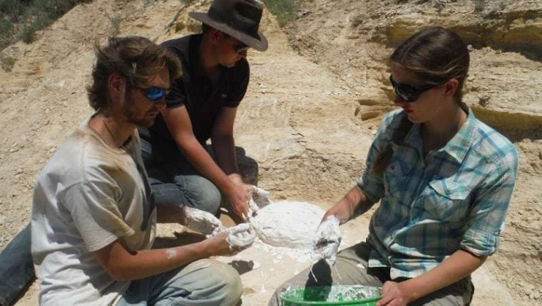 Putting a plaster jacket on a clam fossil
