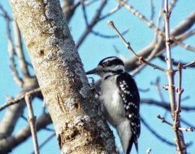 Woodpecker_M-File