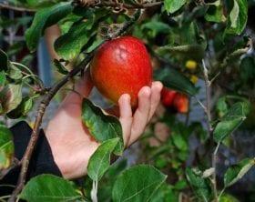 Pick_an_Apple