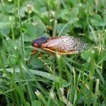 cicada-on-the-grass