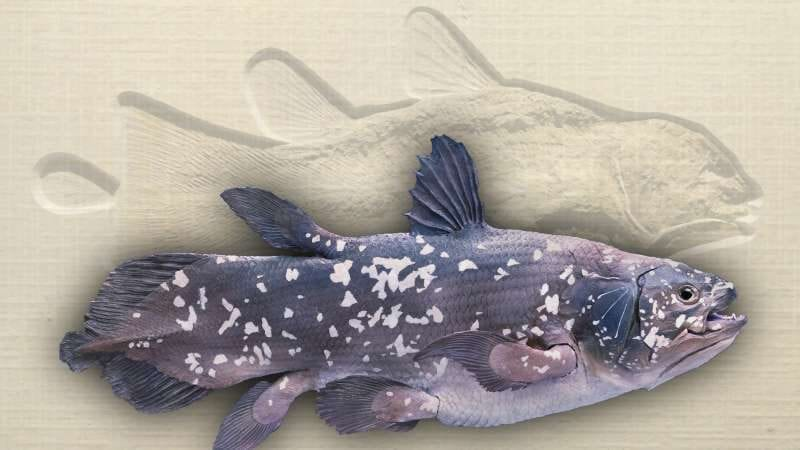 Coelacanth shown in living color with matching fossil imprint behind, photo credit: David Mikkelson