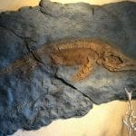 Ichthyosaur fossil encased in rock
