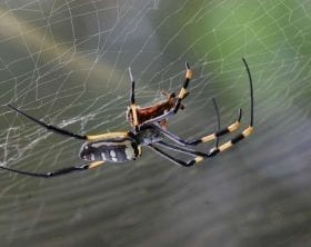 Golden Orb Spider on web