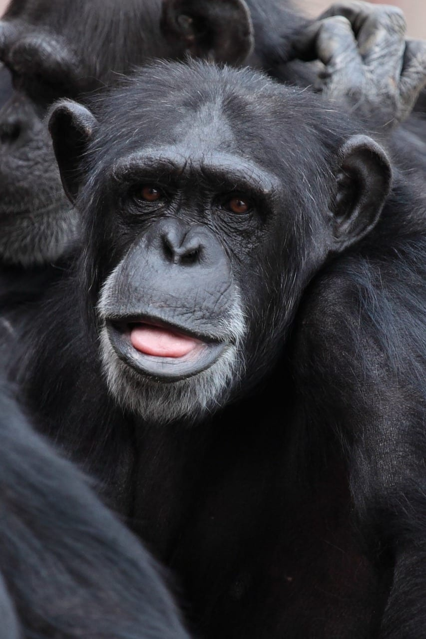 Chimpanzee face looking thoughtful/worried, photo credit Pixabay