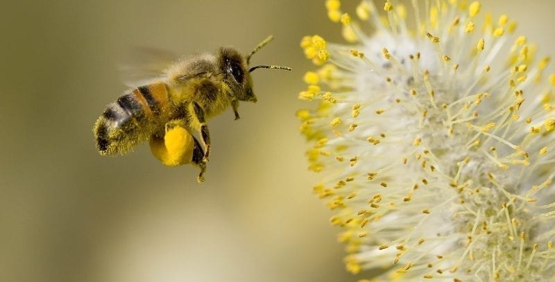 Bee collecting pollen from willow blossom: ID 2250640 © Dave Massey | Dreamstime.com