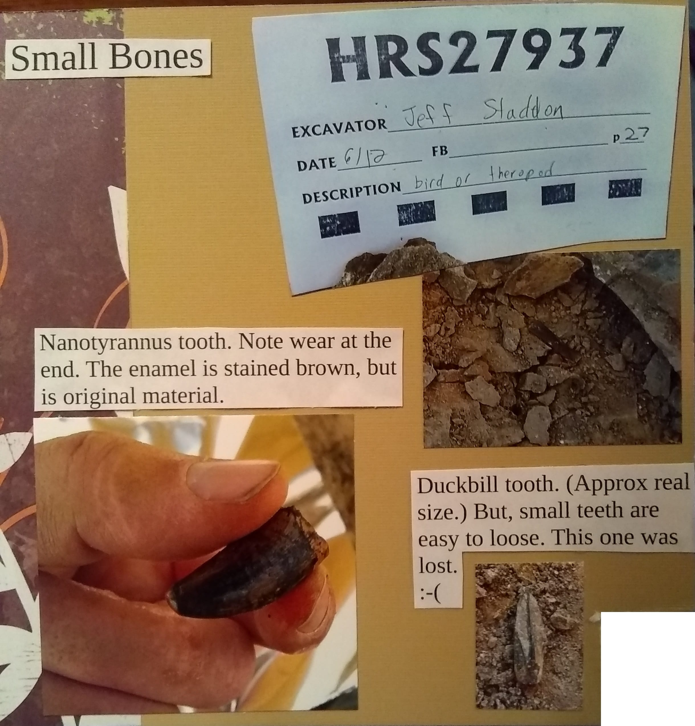 Top: Small bones. Left: Nanotyrannus tooth. Note wear at the end. The enamel is stained brown, but is original material. Bottom: Duckbill tooth (Approximately real size). Small teeth are easy to lose; this one was lots. :-(
