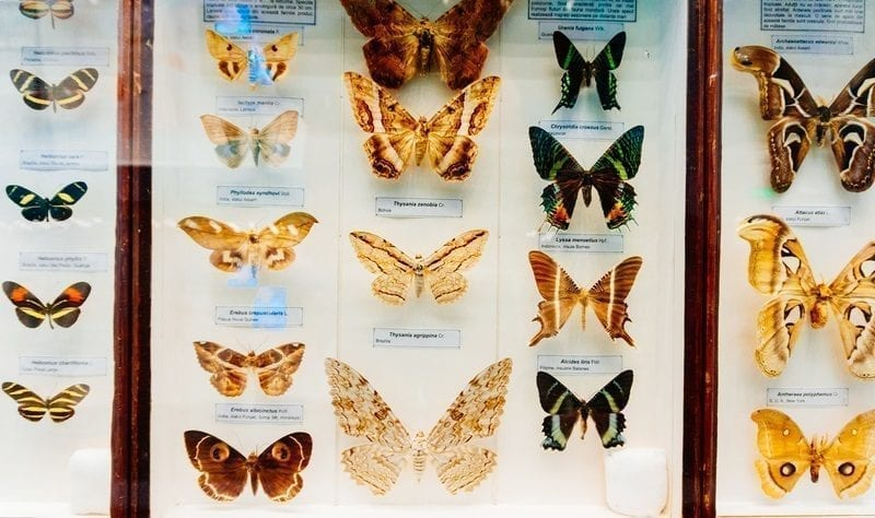 Butterfly species display: ID 60594553 © Constantin Opris   Dreamstime.com