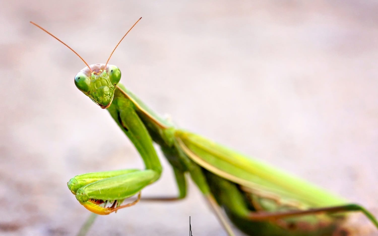 Prayig Mantis facing the camera: ID 21581610 © Danelle Mccollum | Dreamstime.com