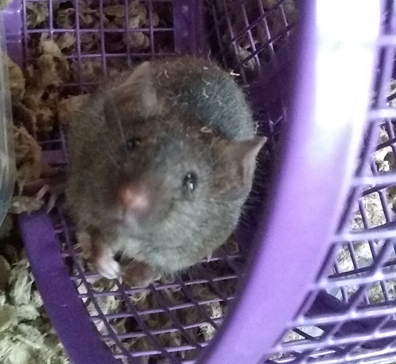 Brown colored house mouse on exercise wheel