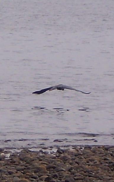 Wendy MacDonald, Seabird over the shoreline