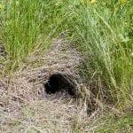 Animal burrow in grass: ID 32646065 © Mihairomeob | Dreamstime.com