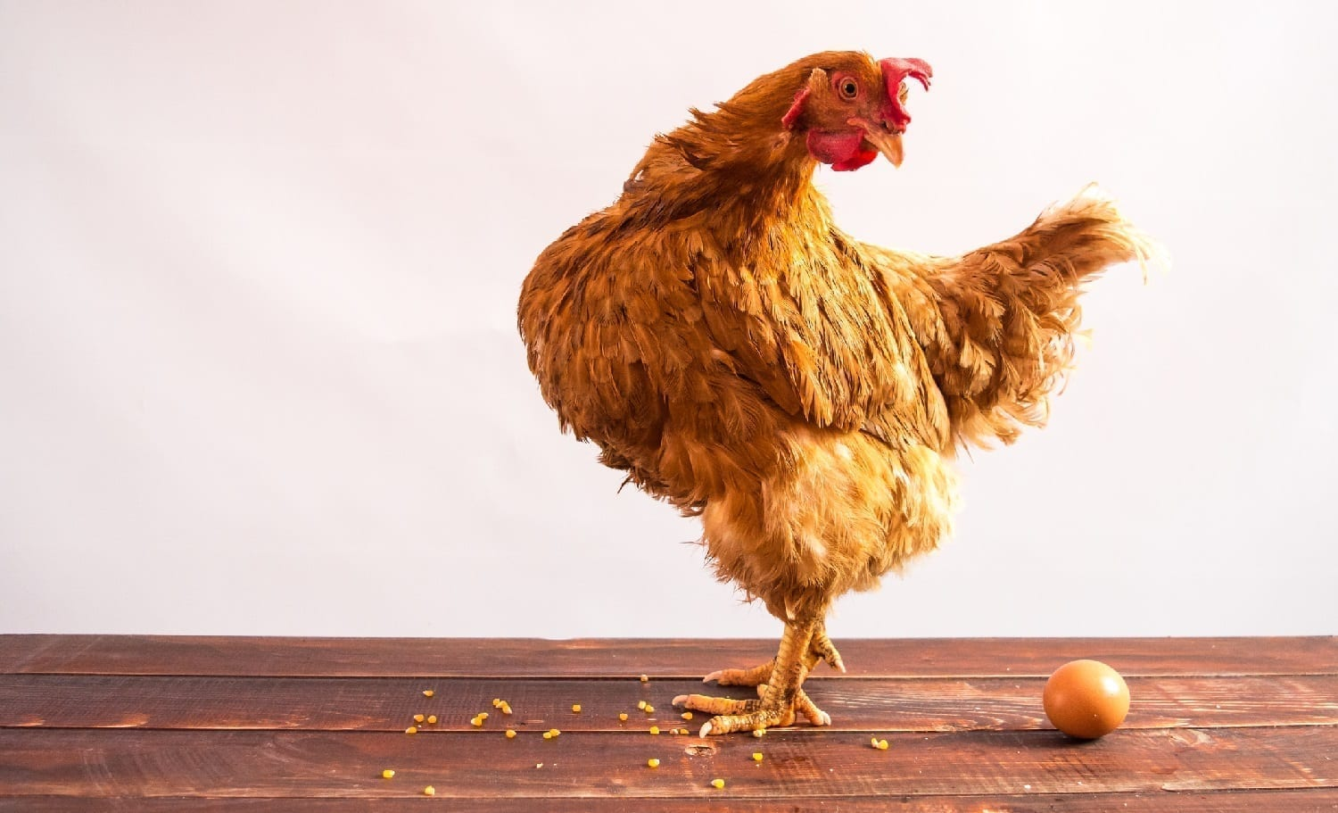 Chicken looking at egg: ID 65974720 © Yuliia Fesyk | Dreamstime.com